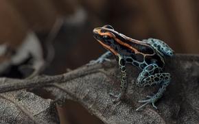 Картинка jungle, Ranitomeya ventrimaculata, Red-backed poison frog