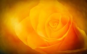 Картинка цветок, роза, лепестки, бутон