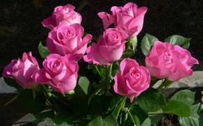 Картинка розы, бутоны, pink, roses, бует