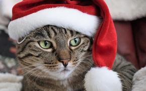 Обои кот, портрет, Санта, мордашка, колпак