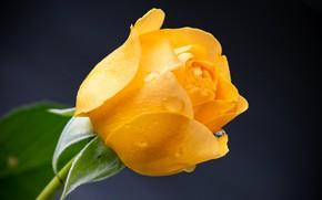 Обои капли, цветок, роза, желтая