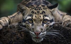 Обои дикая кошка, морда, Дымчатый леопард, взгляд