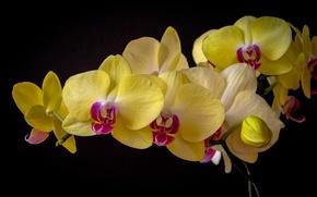 Картинка орхидея, фаленопсис, тёмный фон
