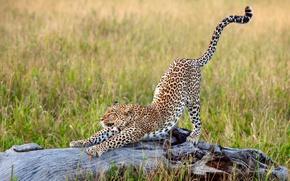 Обои потягивается, большая кошка, Африка, трава, леопард