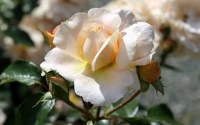 Обои свет, роза, лепестки, белая