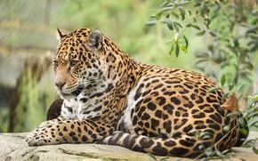 Обои кошка, животное, ягуар, отдых