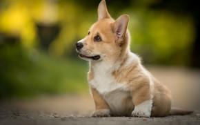 Картинка щенок, пёсик, Вельш-корги