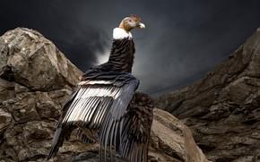 Картинка природа, птица, Condor