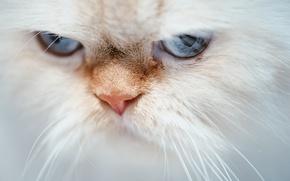 Обои кот, Гималайская кошка, голубые глаза, мордочка, взгляд, кошка