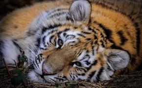 Картинка взгляд, морда, тигр, дикая кошка