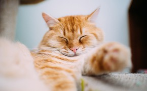 Картинка кот, рыжий, спит