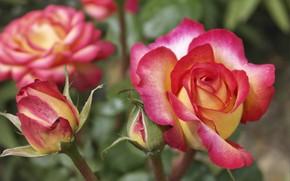 Картинка макро, розы, бутон, пестрый