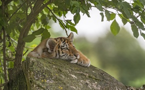 Картинка камень, тигр, тигрёнок, дерево