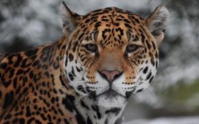 Обои Дикая, Красотка, Кошка, Леопард
