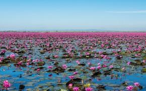 Картинка Цветы, Природа, Озеро, Пейзаж, Цветение, Кувшинки