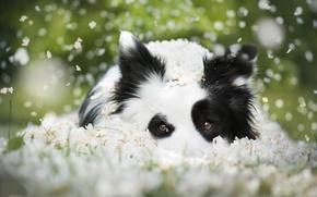 Картинка взгляд, морда, собака, цветки, боке, Бордер-колли