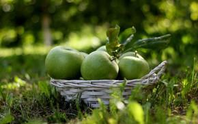 Картинка яблоки, урожай, плоды, фрукты, корзинка, зелёные