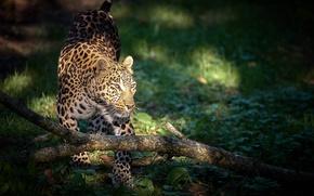Обои хищник, леопард, большая кошка
