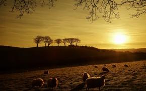 Картинка поле, закат, овцы