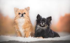 Обои парочка, две собаки, Чихуахуа