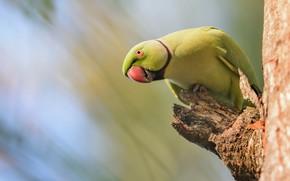 Картинка птица, попугай, боке, сучок, Индийский кольчатый попугай