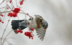 Картинка ягоды, птица, Fieldfare, Kramsvogel, Turdus pilaris