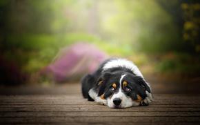 Картинка отдых, доски, собака, Blake