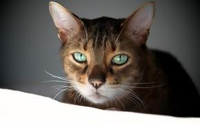 Картинка кошка, белый, глаза, кот, взгляд, морда, фон, темный, портрет, зеленые, полосатый, зеленоглазый, абиссинская, абиссинец