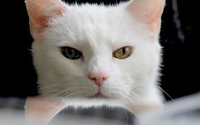 Картинка белый, глаза, котейка