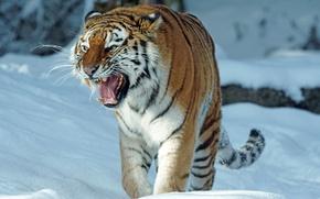 Обои зима, снег, тигр, хищник, пасть, оскал, амурский тигр