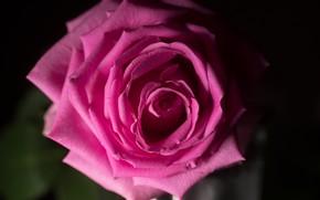 Обои роза, красивая, макро, цвет