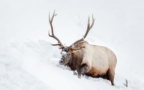 Картинка снег, природа, олень