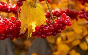 Картинка ягоды, калина, осень