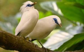 Картинка птица, экзотика, хохолок, балийский скворец