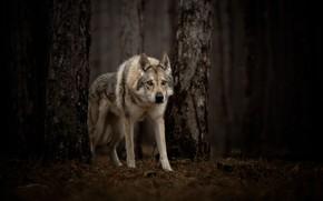 Картинка лес, взгляд, волк