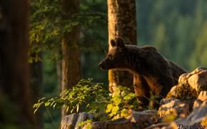 Картинка деревья, медведь, Топтыгин