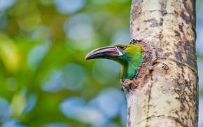 Картинка дерево, птица, клюв, Эквадор, туканет