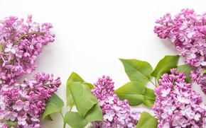 Обои цветки, белый фон, сирень, листья