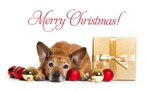 Обои морда, Рождество, Новый год, подарок, собака, взгляд, шарики
