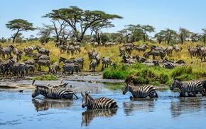 Картинка трава, деревья, саванна, водопой, в воде, стадо, зебры, на берегу, полосатые