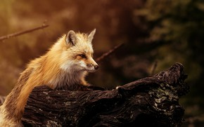 Картинка фон, шерсть, мордочка, лисица