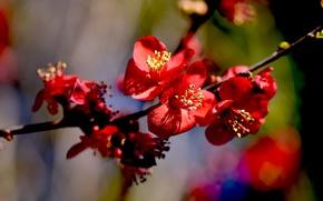 Картинка весна, цветение, цветки, айва японская