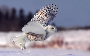 Обои полярная сова, взлет, зима, белая сова, снег, полет, сова