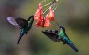 Обои колибри, в полёте, птицы, пара