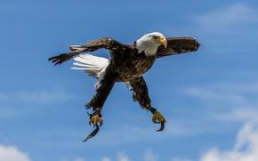 Картинка птица, крылья, хищник, белоголовый орлан