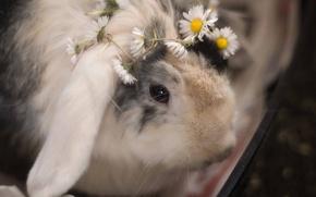 Картинка цветы, ромашки, кролик, венок