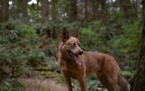 Обои язык, лес, собака
