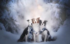 Картинка друзья, трио, шарф, Бордер-колли, зима, собаки, снег, троица