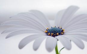 Картинка цветок, лепестки, остеоспермум