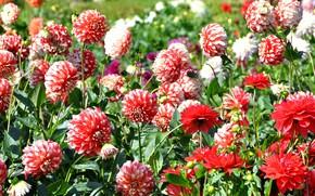 Картинка лето, цветы, природа, красота, цветение, много, георгин
